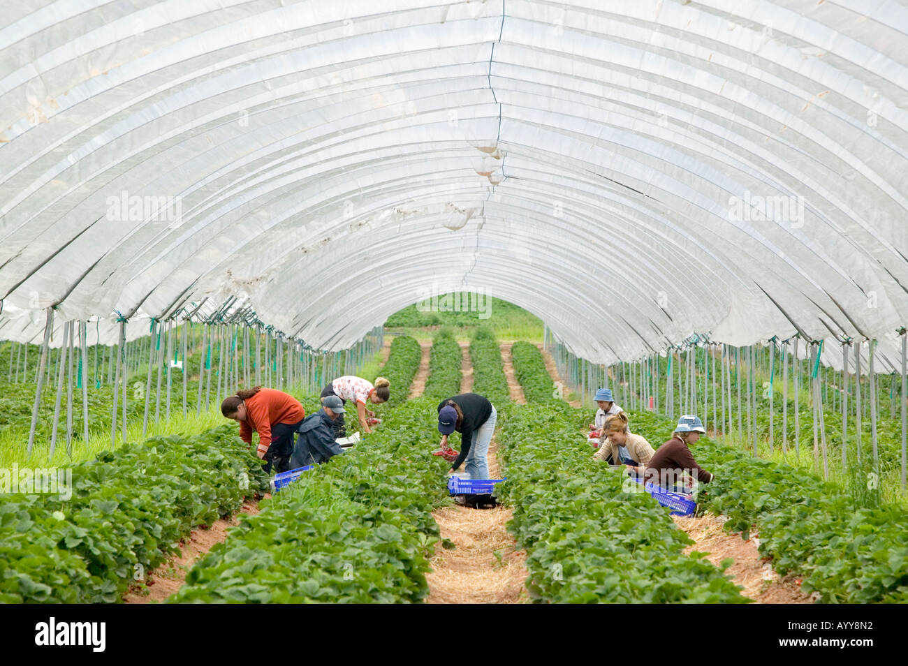 eastern-european-workers-picking-strawbe