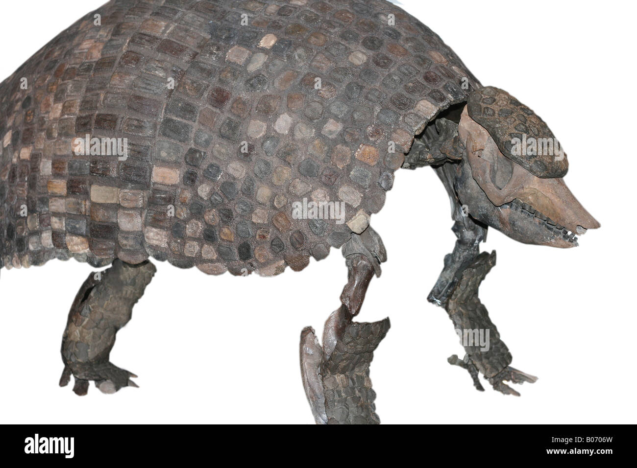 the modern armadillo and the prehistoric glyptodon The glyptodont was a giant prehistoric armadillo, as much as 10feet long and weighing 4000 pounds (2 tons.
