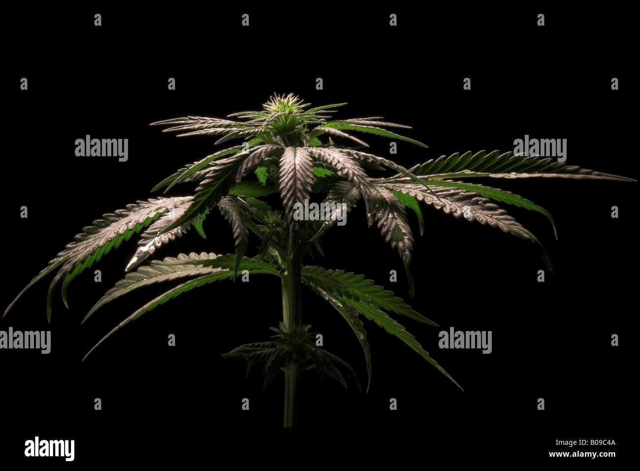 Flowering female cannabis sativa plant Stock Photo
