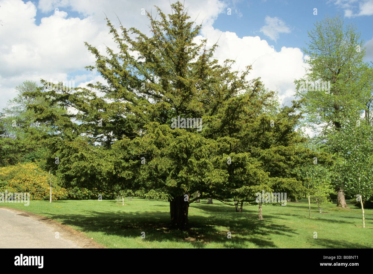 common yew english yew taxus baccata tree in park. Black Bedroom Furniture Sets. Home Design Ideas