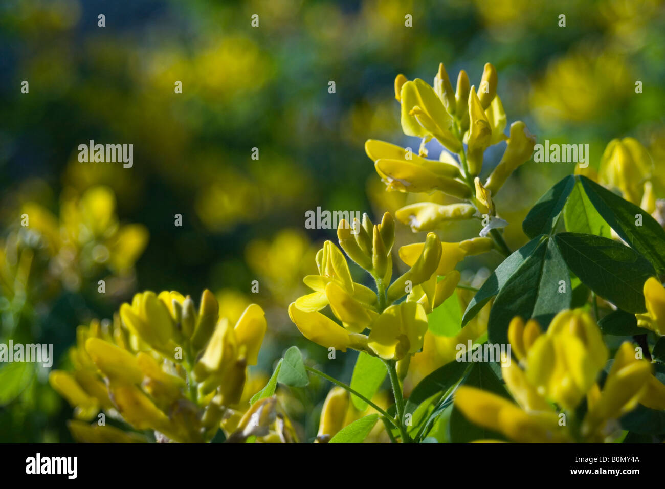 joseph dupouy nature petteria ramentacea cytise Stock Photo