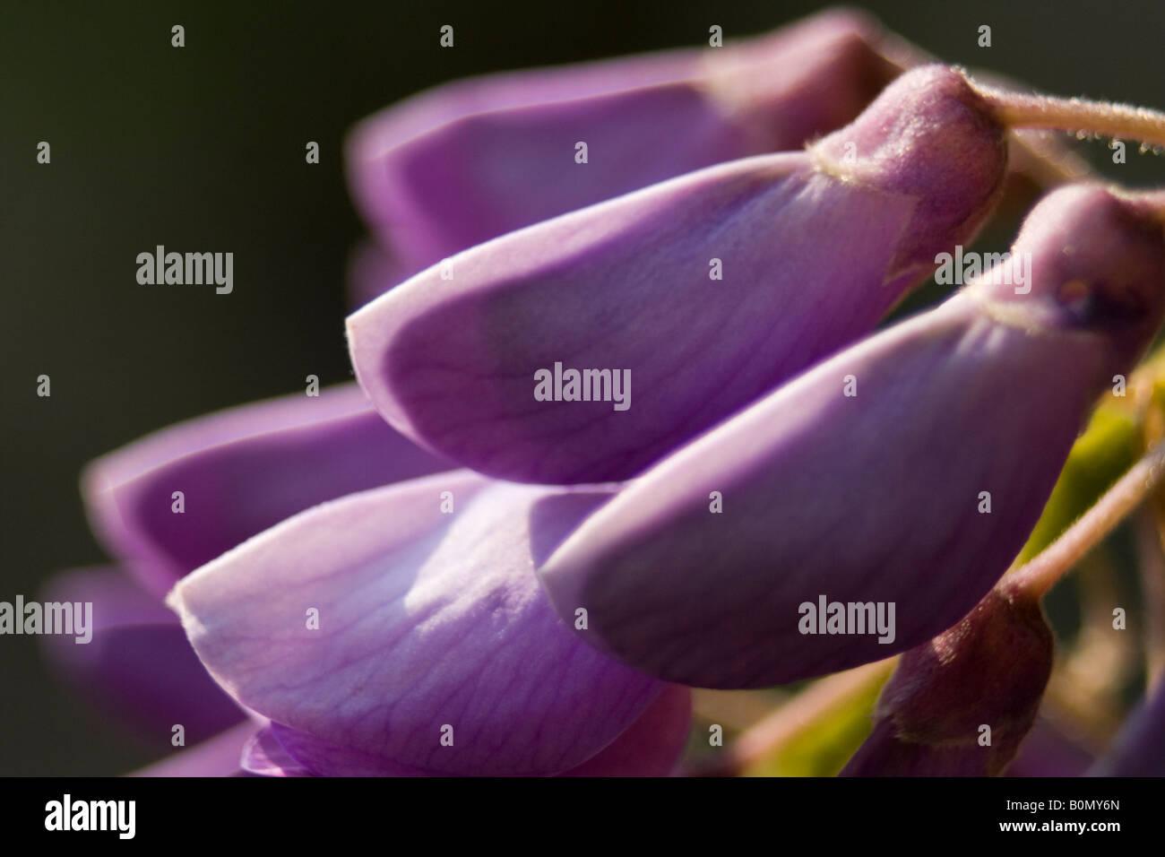 glycine du japon fabaceae fabio joseph dupouy nature ranunculaceae Aquilegia vulgari Stock Photo