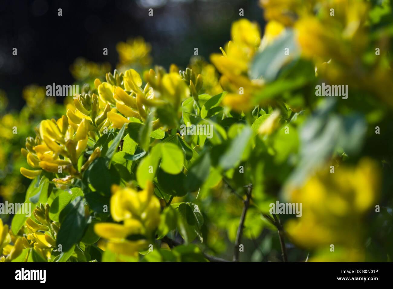 joseph dupouy nature petteria ramentacea cytise Stock Photo