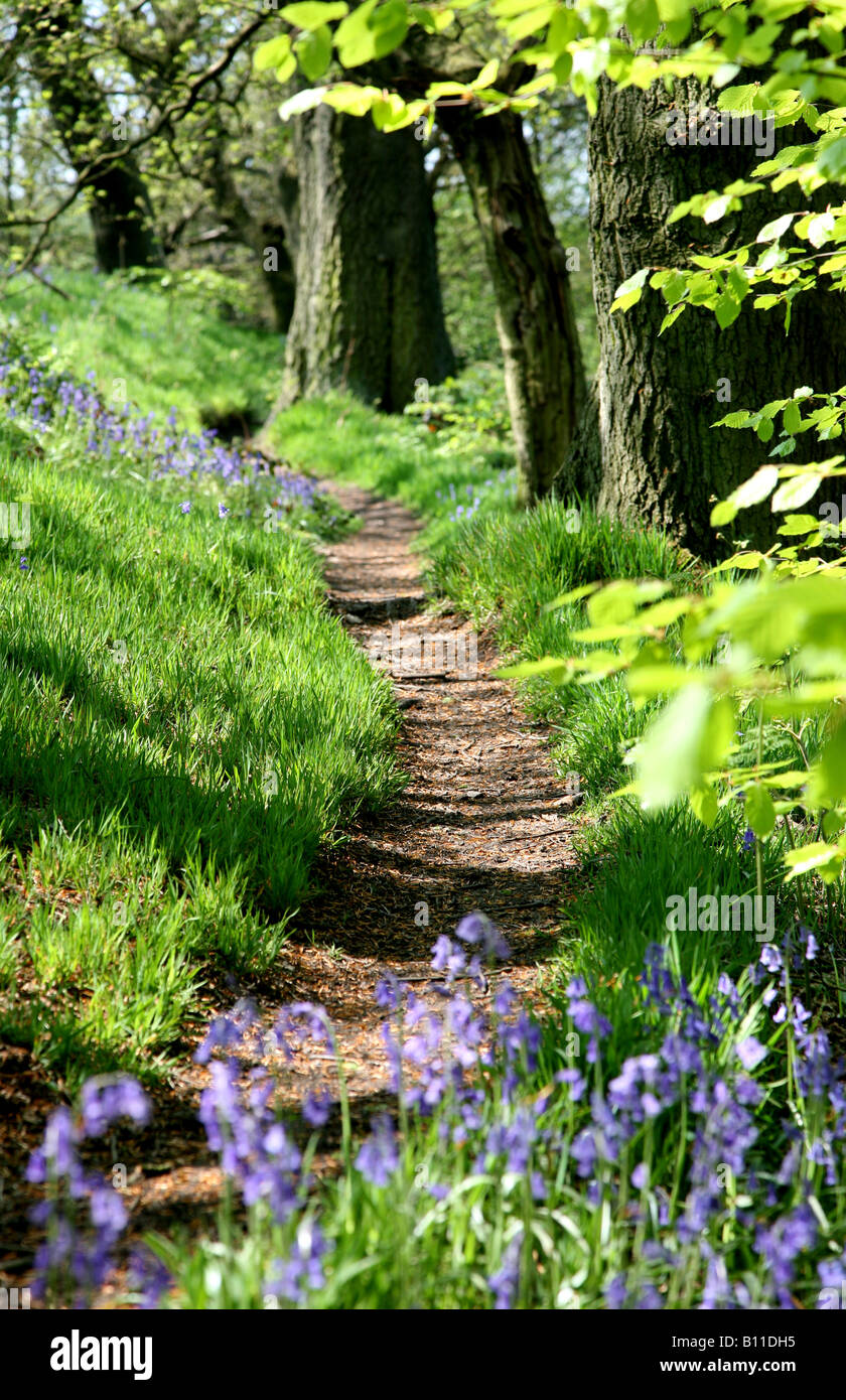 a-footpath-through-an-english-bluebell-w