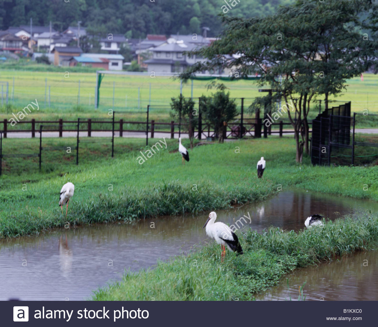 Toyooka Japan  City new picture : Ciconia Ciconia Boyciana's Hometown Park, Toyooka, Hyogo, Japan Stock ...