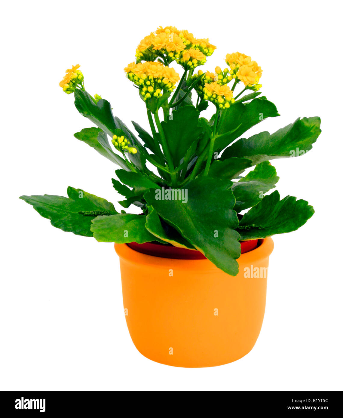 kalanchoe house plant html with Stock Photo Brilliant Star Flaming Katy Madagascar Widow S Thrill Kalanchoe Blossfeldiana 18436696 on 2253759list besides The Most Popular Indoor Plants Of Germany furthermore Stock Photo Bright Orange Flowering Kalanchoe Plant Isolated On White in addition Beliebteste Zimmerpflanzen Topfpflanzen together with Kalanchoe.