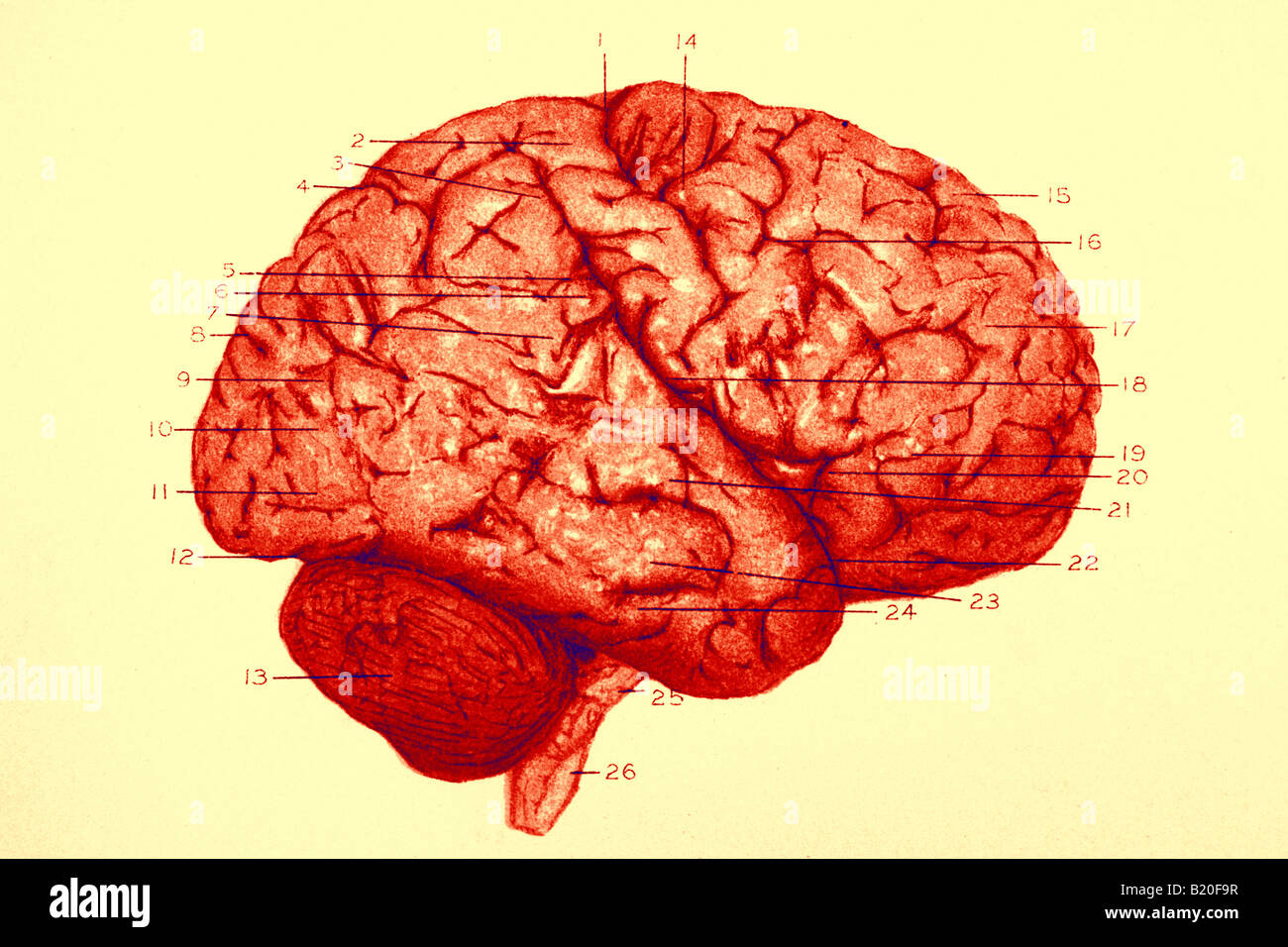 ILLUSTRATION CONVOLUTIONS RIGHT HEMISPHERE OF BRAIN Stock Foto