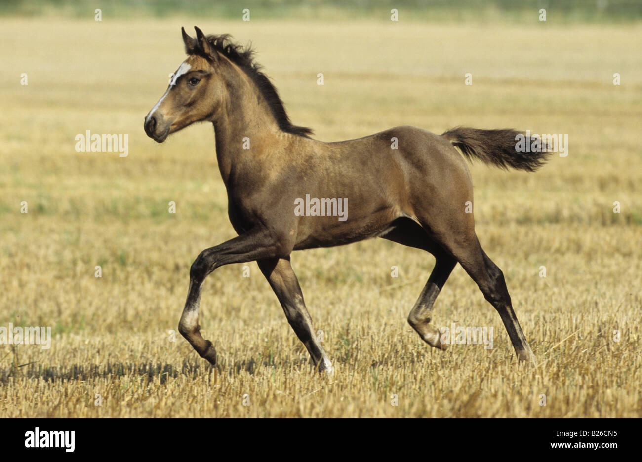 Mix of arabian and barb horse equus caballus foal for Negative show pool horse racing