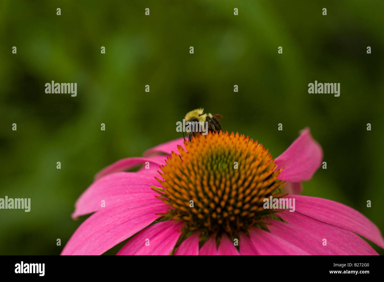 close-up-of-a-common-eastern-bumble-bee-