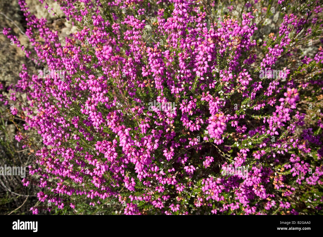 A clump of blossoming Bell Heathers (Erica cinerea), Touffe de Stock Photo, Royalty Free Image ...