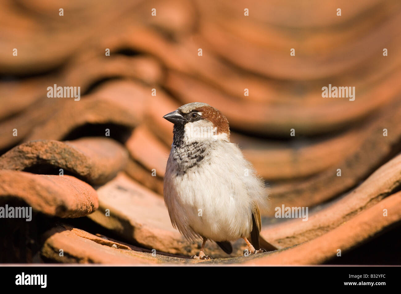 House Sparrow Passer domesticus on tiled roof Norfolk spring Stock Foto