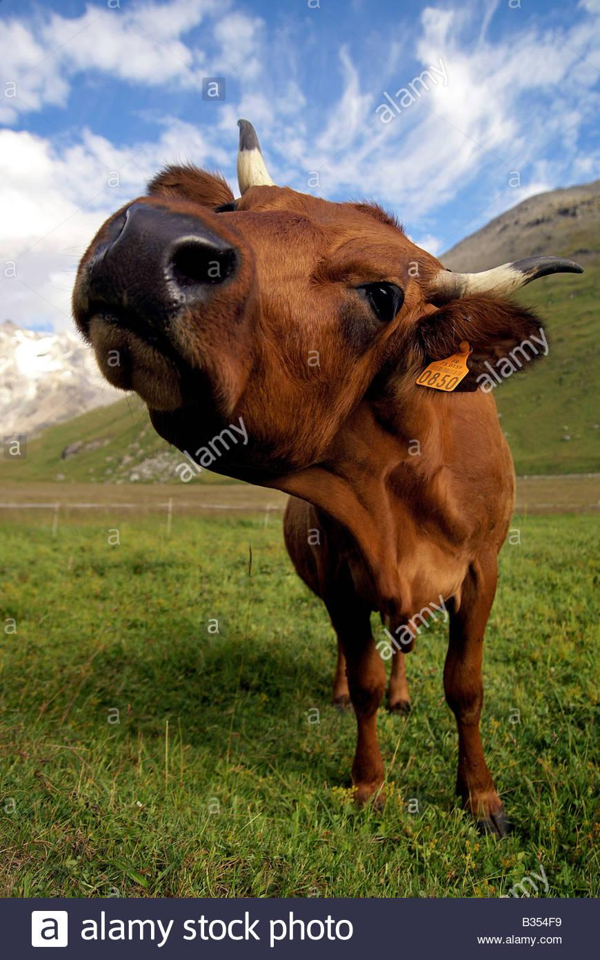 tarine-cow-closeup-gros-plan-dune-vache-