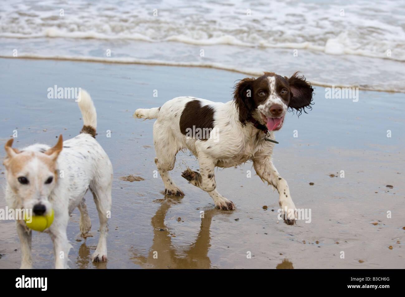 Stunning Jack Russell Cross Springer Spaniel Puppies For – Fondos de