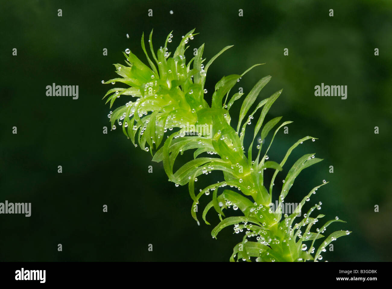 Sprig of the aquatic plant elodea pond weed producing for Oxygen plant