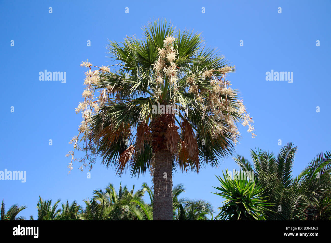 natur pflanzen palme hanfpalme trachycarpus kalabrien. Black Bedroom Furniture Sets. Home Design Ideas