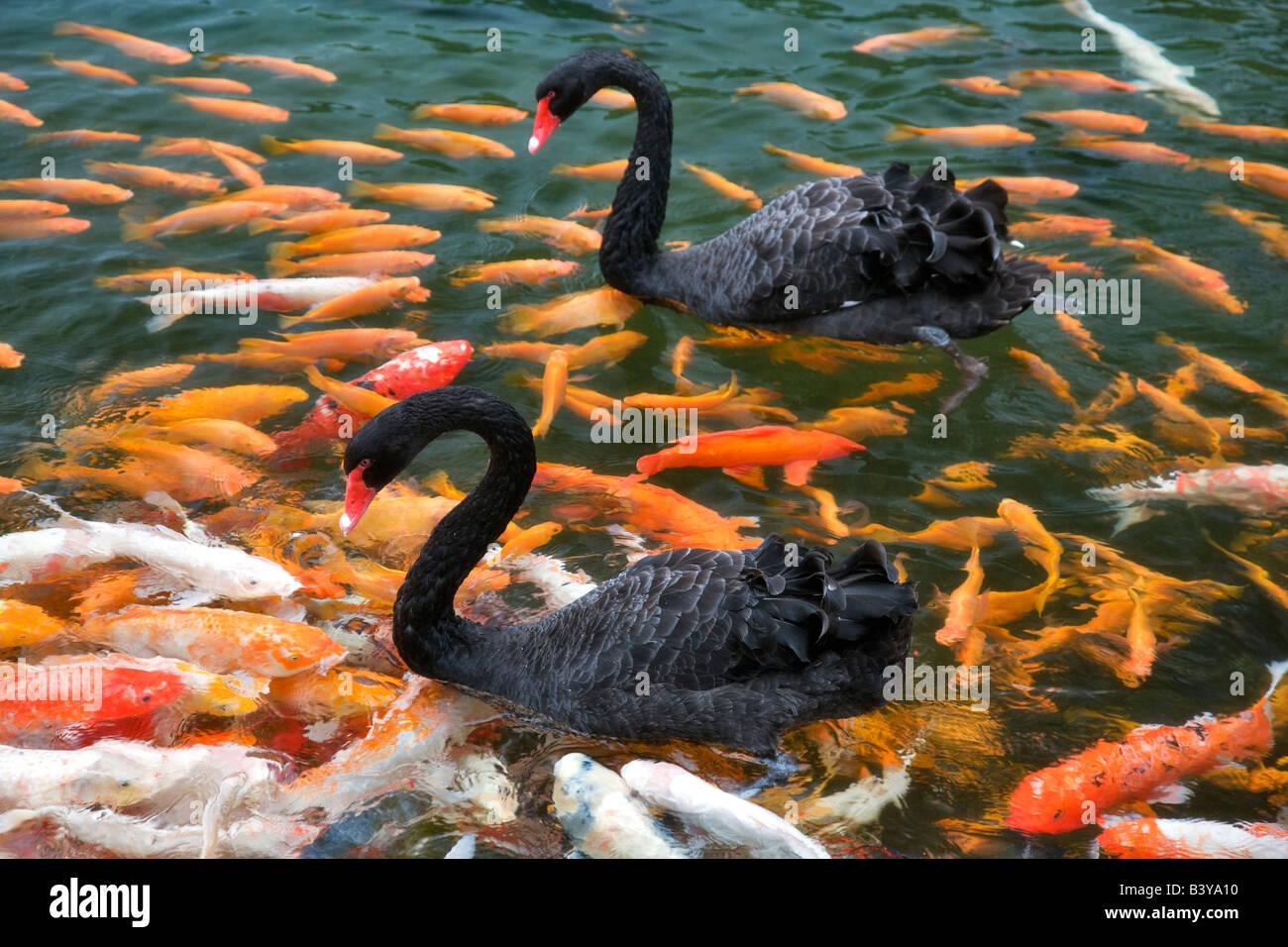 Black swan and koi fish hyatt hotel kauai hawaii stock for Black koi fish