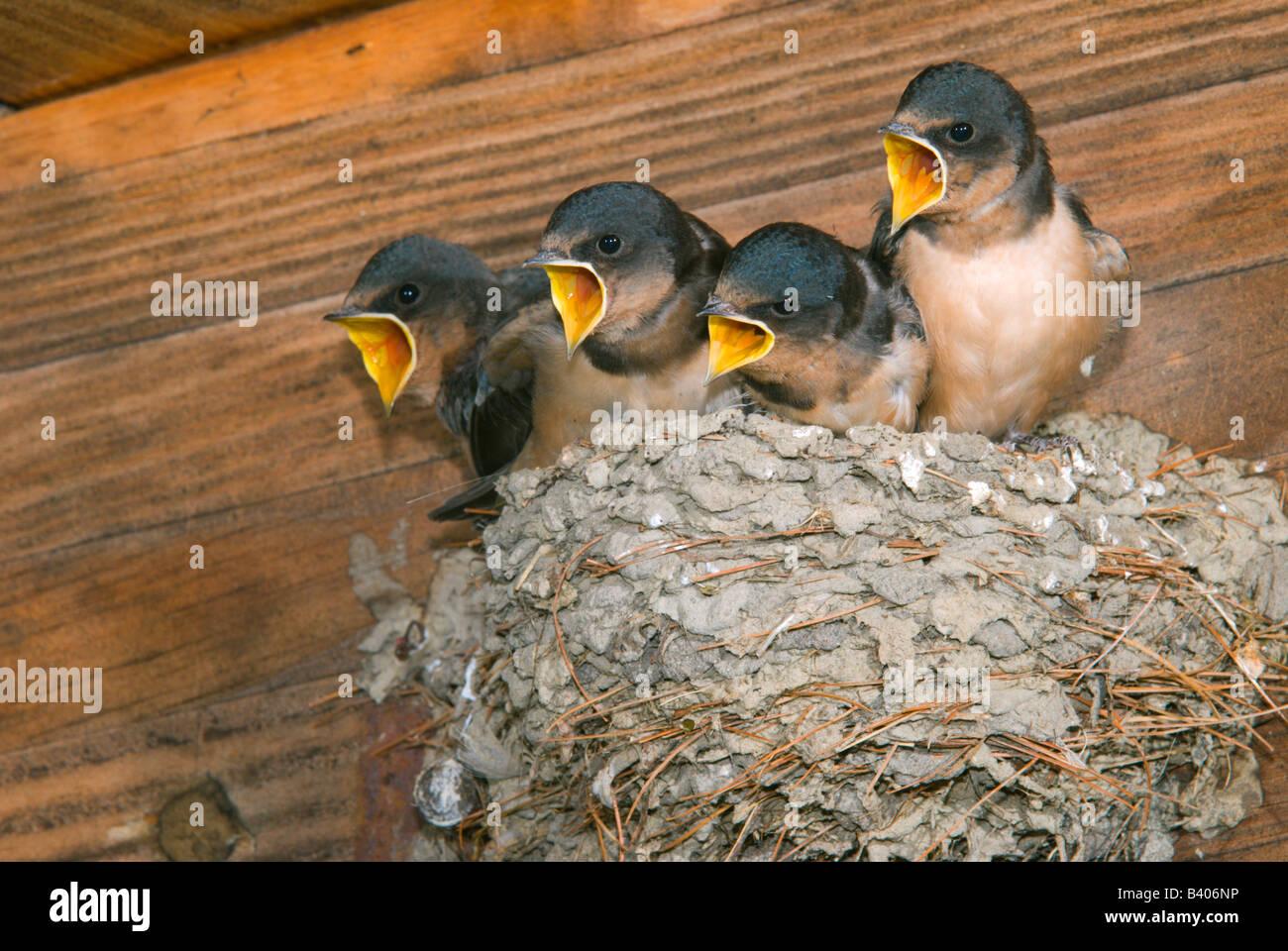 Barn Swallow babies ( Hirundo rustica ) in nest Stock ...