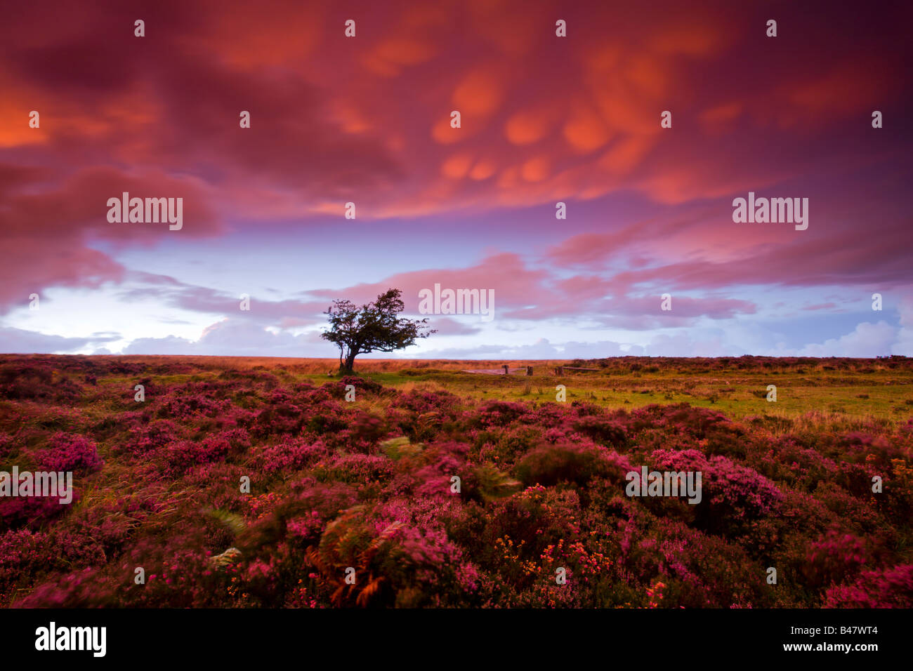 Stormy sunset over the heather carpeted Dunkery Hill Exmoor National Park Somerset England Stock Foto