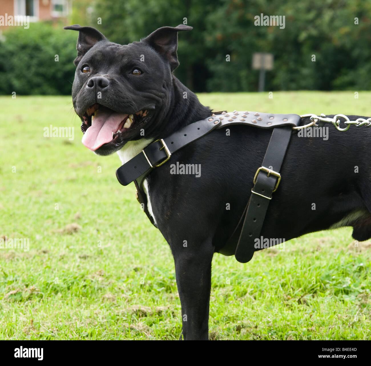 Staffordshire, Bull, Terrier, dog, staff, pitbull 3 Stock