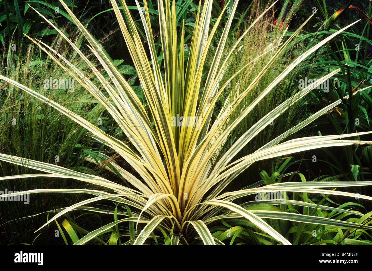 Cordyline torbay dazzler green and yellow leaf leaves for Structural plants for small gardens