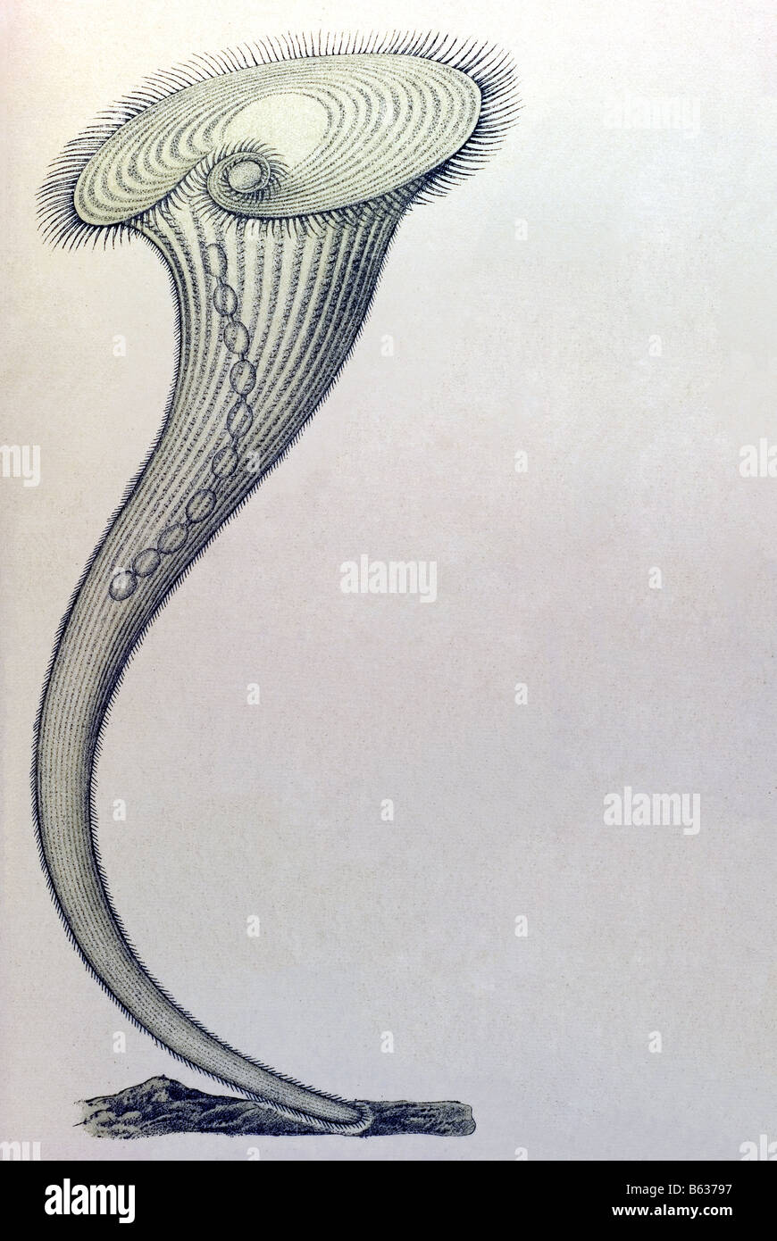 Ciliata / Wimperlinge, Name Stentor, Haeckel, Kunstformen der Natur, art nouveau, 20th century, Europe Stock Foto