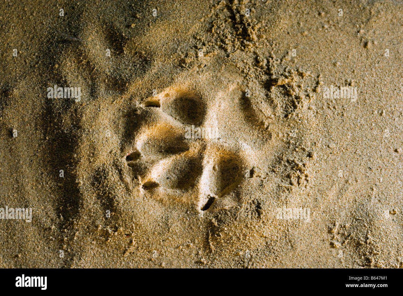 Finland, Kuhmo, Petola Visitor Center. Information about Finland's largest carnivores and preditors. Footprint of Stock Foto