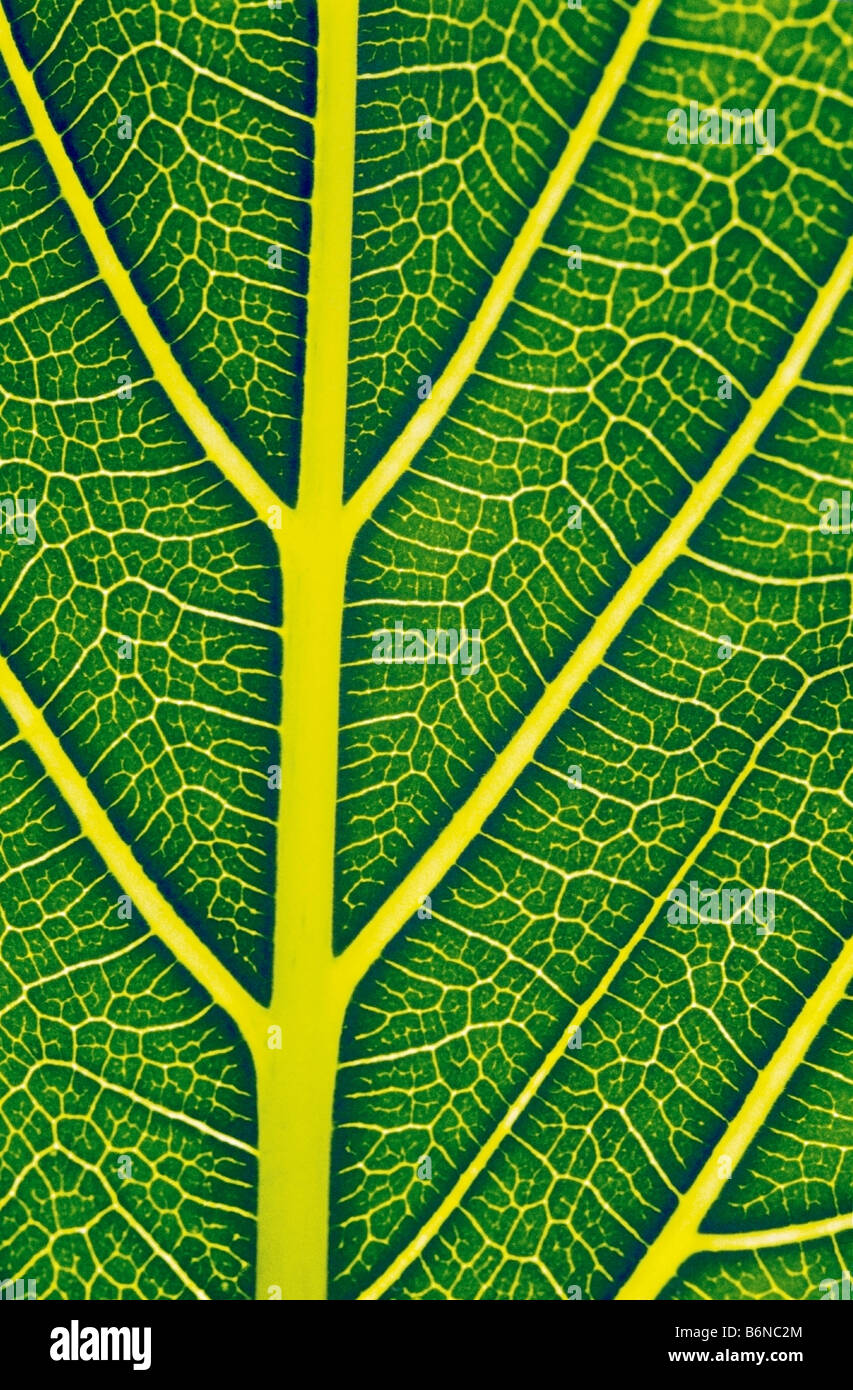 Structure of a healthy leaf Stock Foto