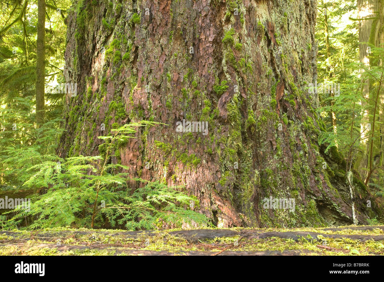 Cathedral Grove Vancouver Island Rainforest