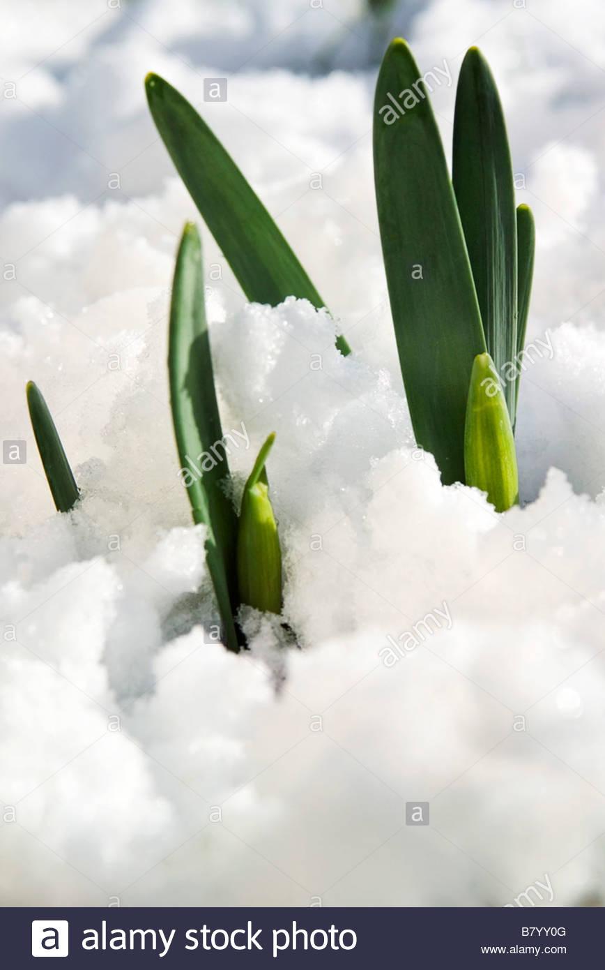 Narcissus (Daffodil) new foliage & flower buds pushing ...