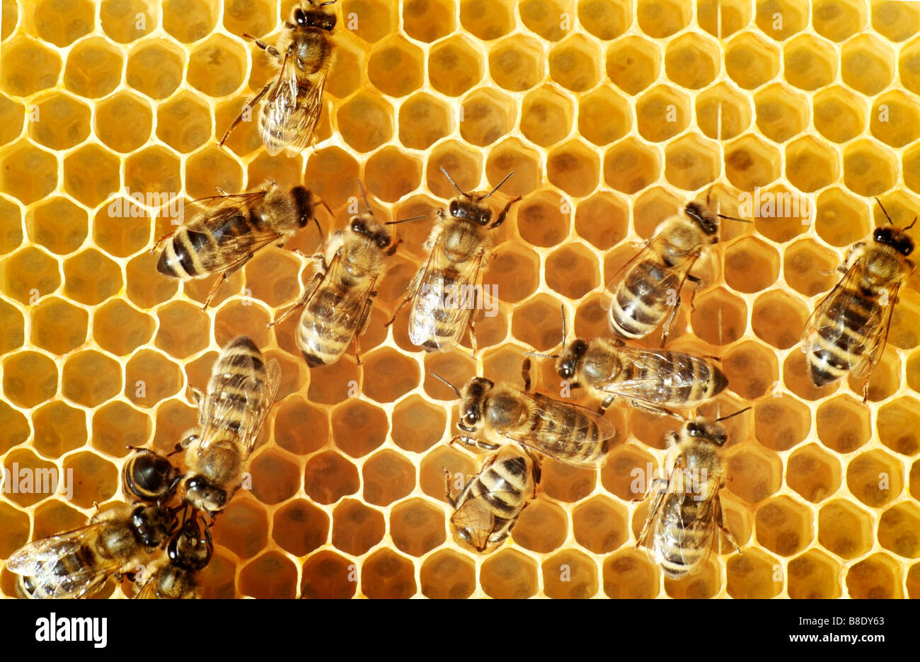 Overhead view of honeybees on a comb Stock Foto