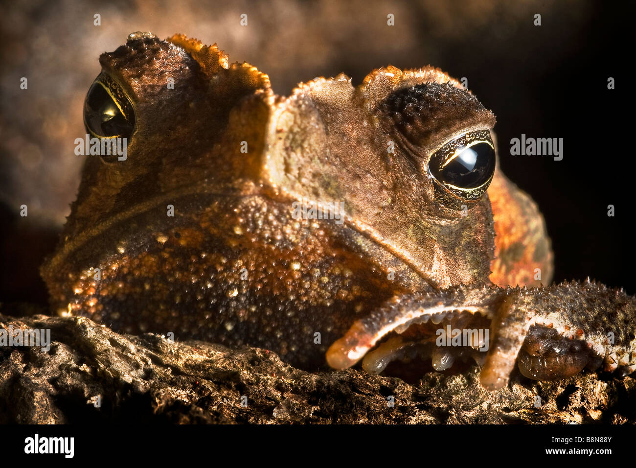 an in depth look at the amphibian in the order anura the frog