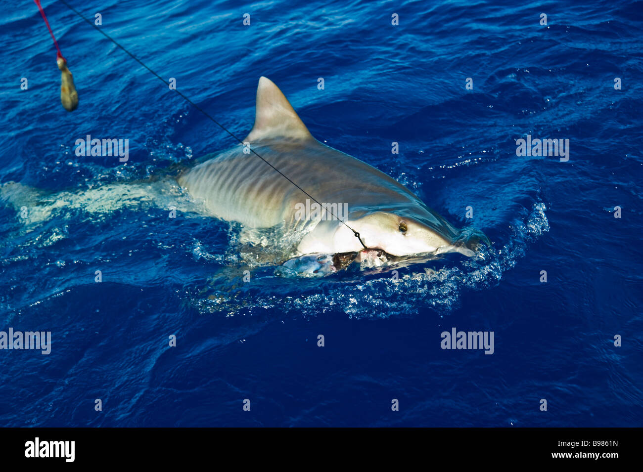 Catch of tiger shark big game fishing la reunion france for Shark fishing games