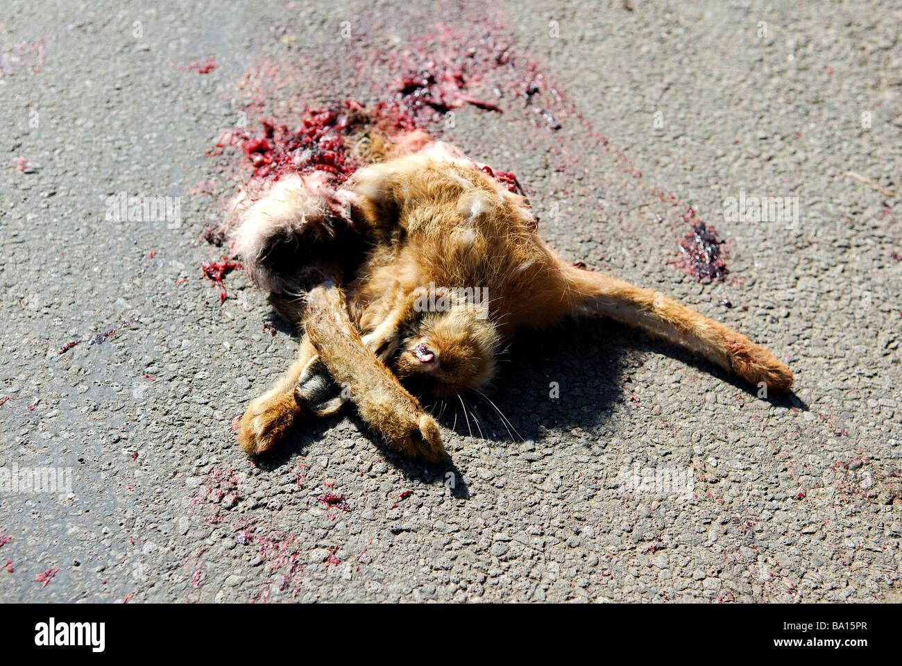 Roadkill Hare. Stock Photo