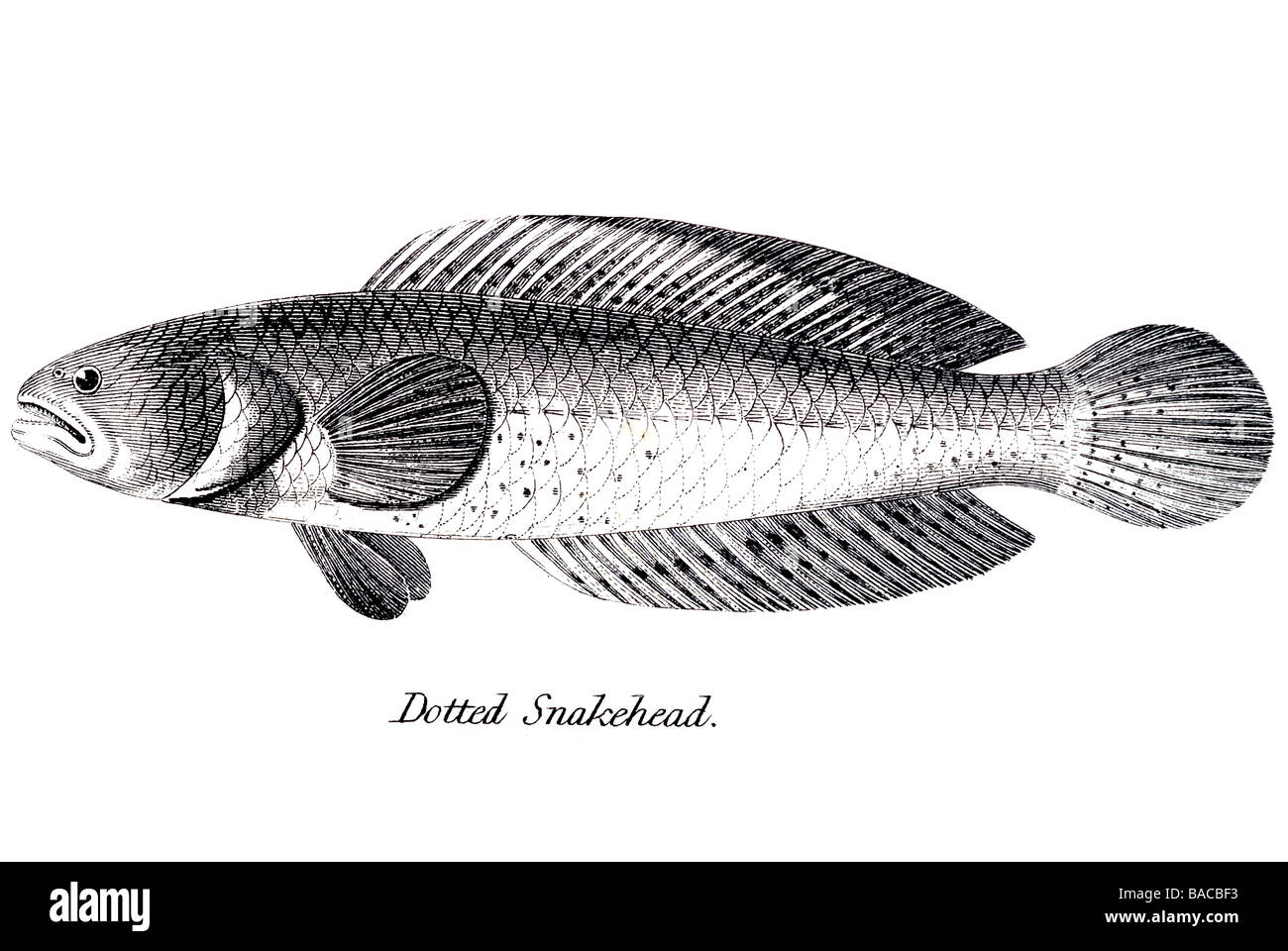 Dotted snakehead channidae freshwater fish snakeheads for Predatory freshwater fish