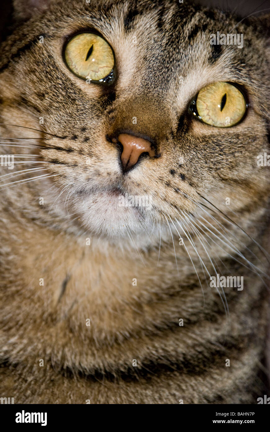 domestic-tabby-cat-BAHN7P.jpg
