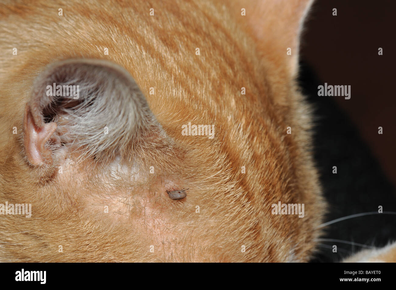 Демодекоз у кошек лечение в домашних условиях, фото признаки