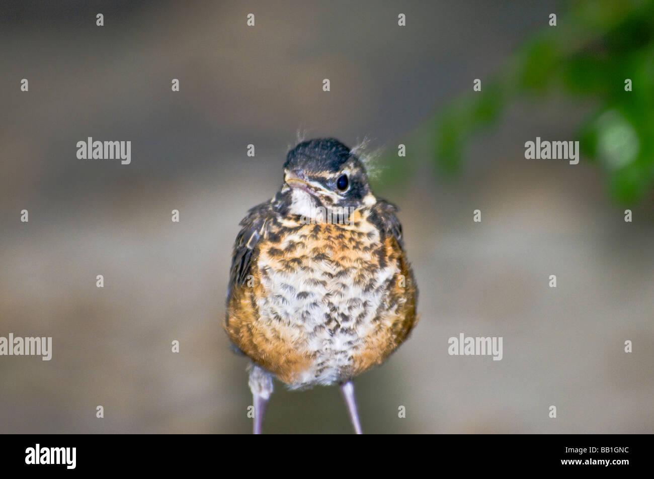 american-robin-fledgling-turdus-migrator