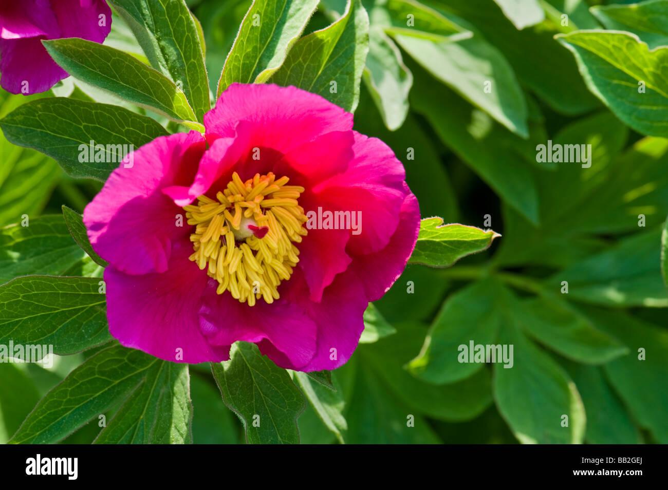 Pink red peony paeonia officinalis ssp humilis green for Paeonia officinalis