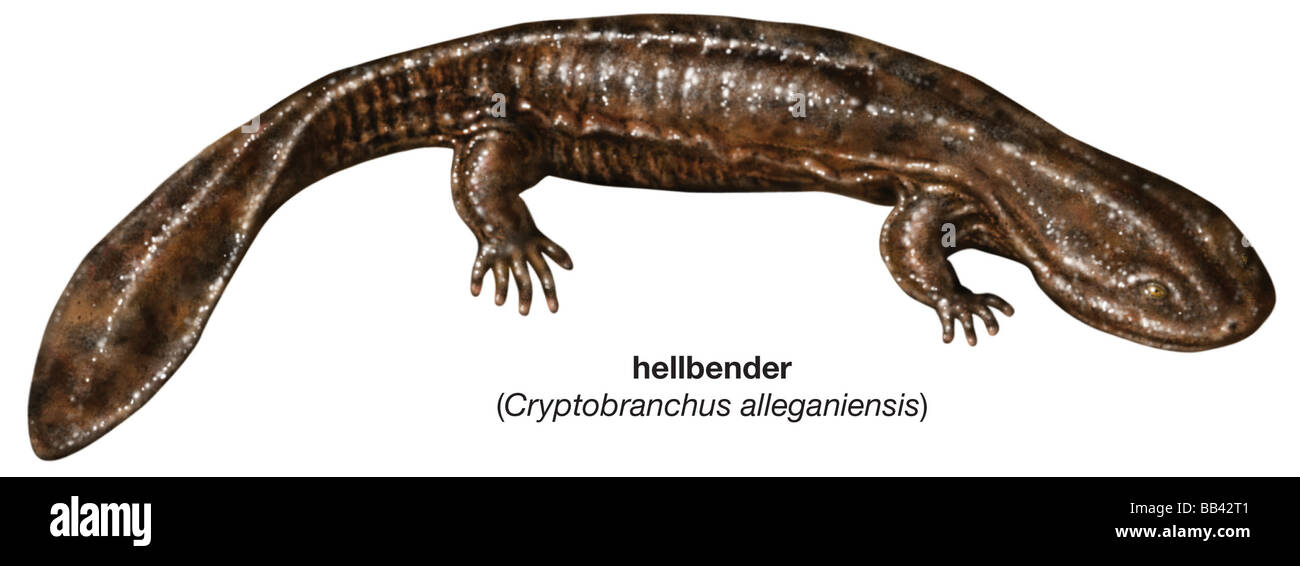 cryptobranchus alleganiensis the largest salamander in north america The largest salamander in north america is in decline (wheeler et al 2003) hellbenders (cryptobranchus alleganiensis)are theonly representative of the family cryptobranchidae that occurs out-side of asia, and are second in size only to their fellow crypto.
