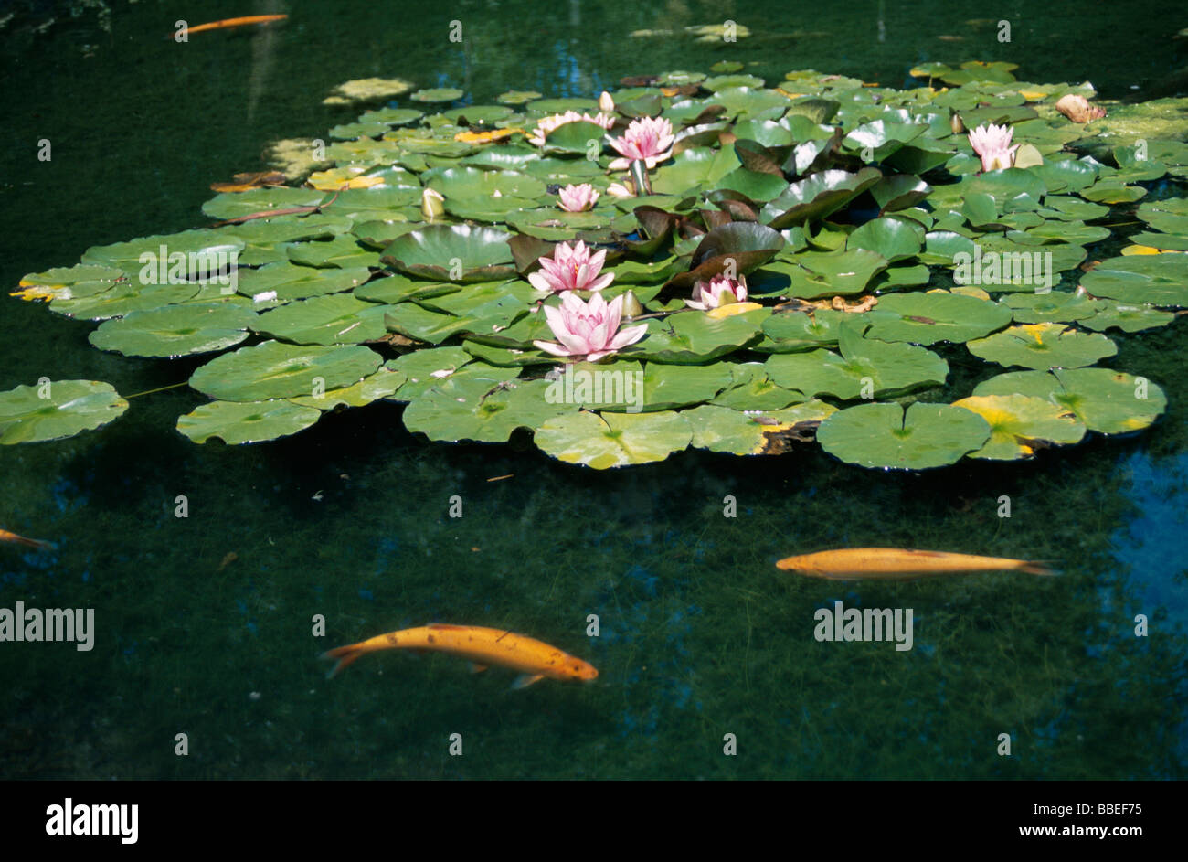 Plants flower water lily in pond flowering in bloom with for Ornamental pond plants