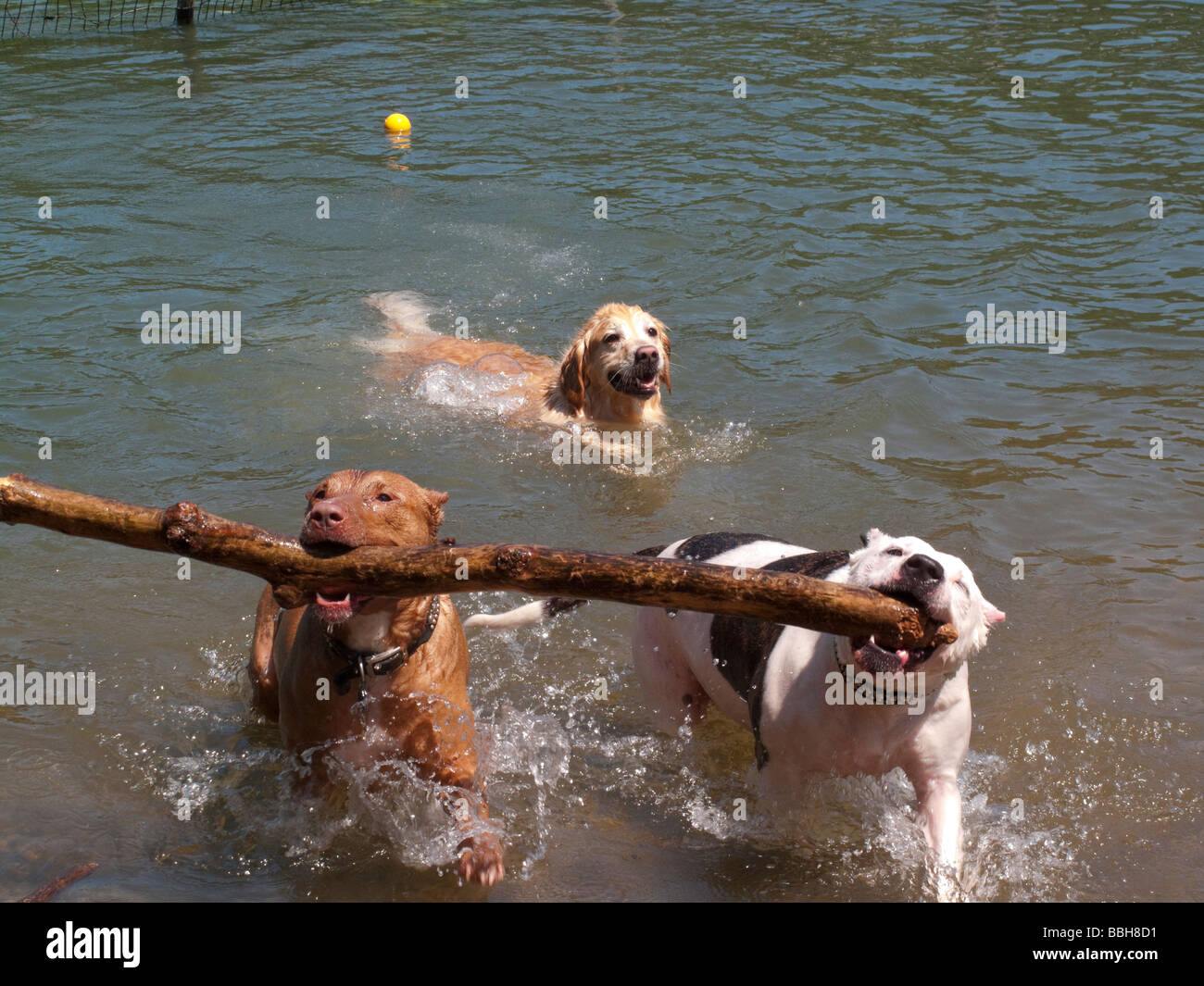 two-pit-bulls-carry-a-branch-out-of-the-