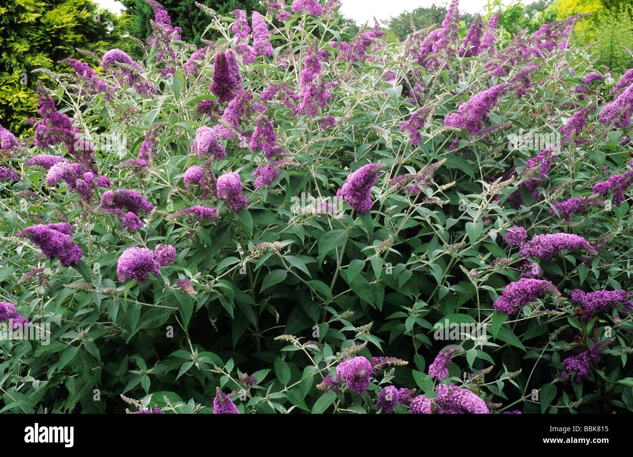 Buddleja Lochinch purple flower flowers buddlejas buddleia Stock P