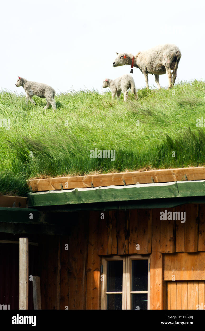Sheep on a roof Lofoten islands Norway. Stock Foto