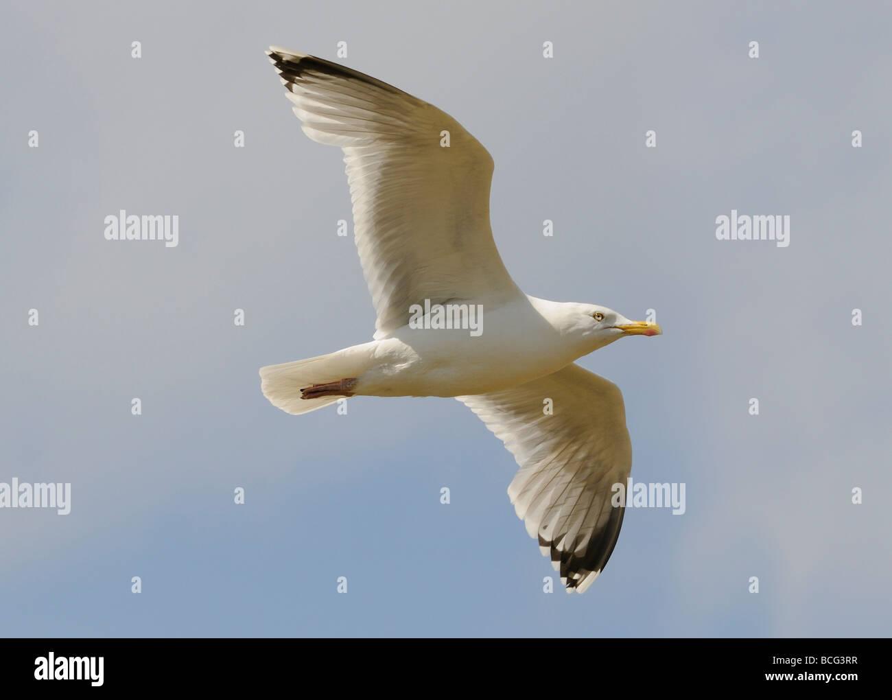 A Herring Gull (Larus argentatus) in flight. Stock Photo