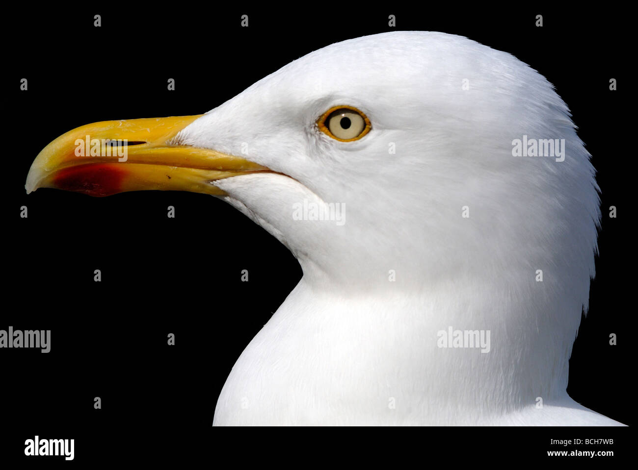 Portrait of a Herring Gull (Larus argentatus). Stock Photo