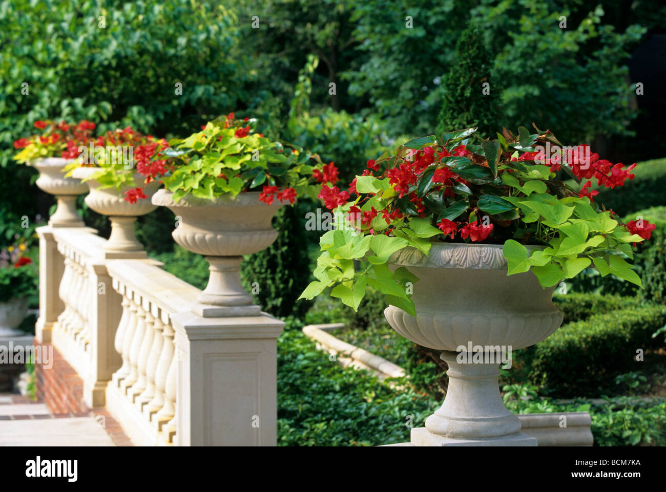 planters brimming with sweet potato vine and dragonwing begonias on stock photo royalty free. Black Bedroom Furniture Sets. Home Design Ideas