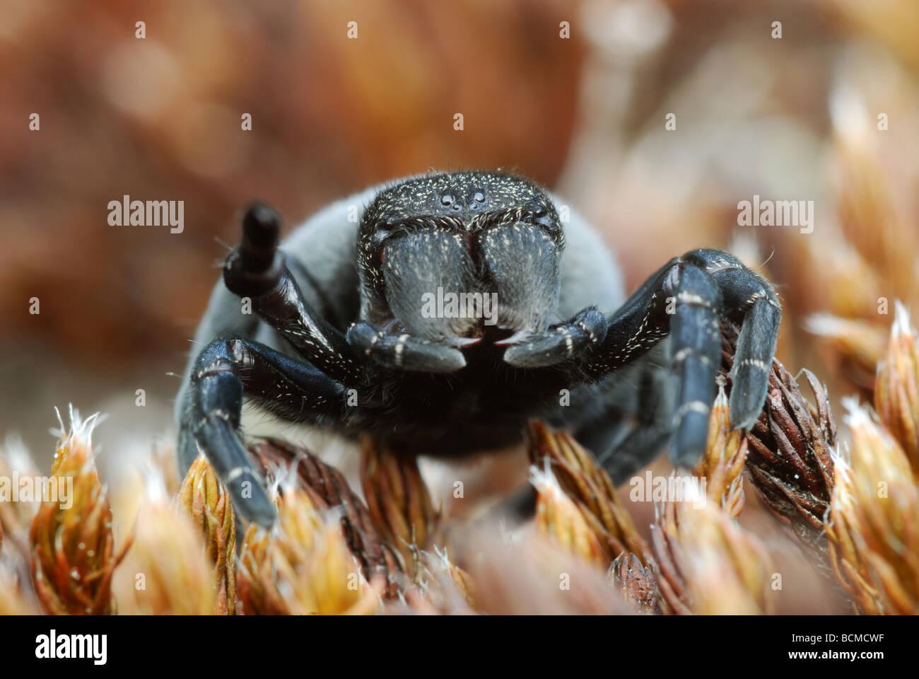 female-ladybird-spider-eresus-sandaliatu
