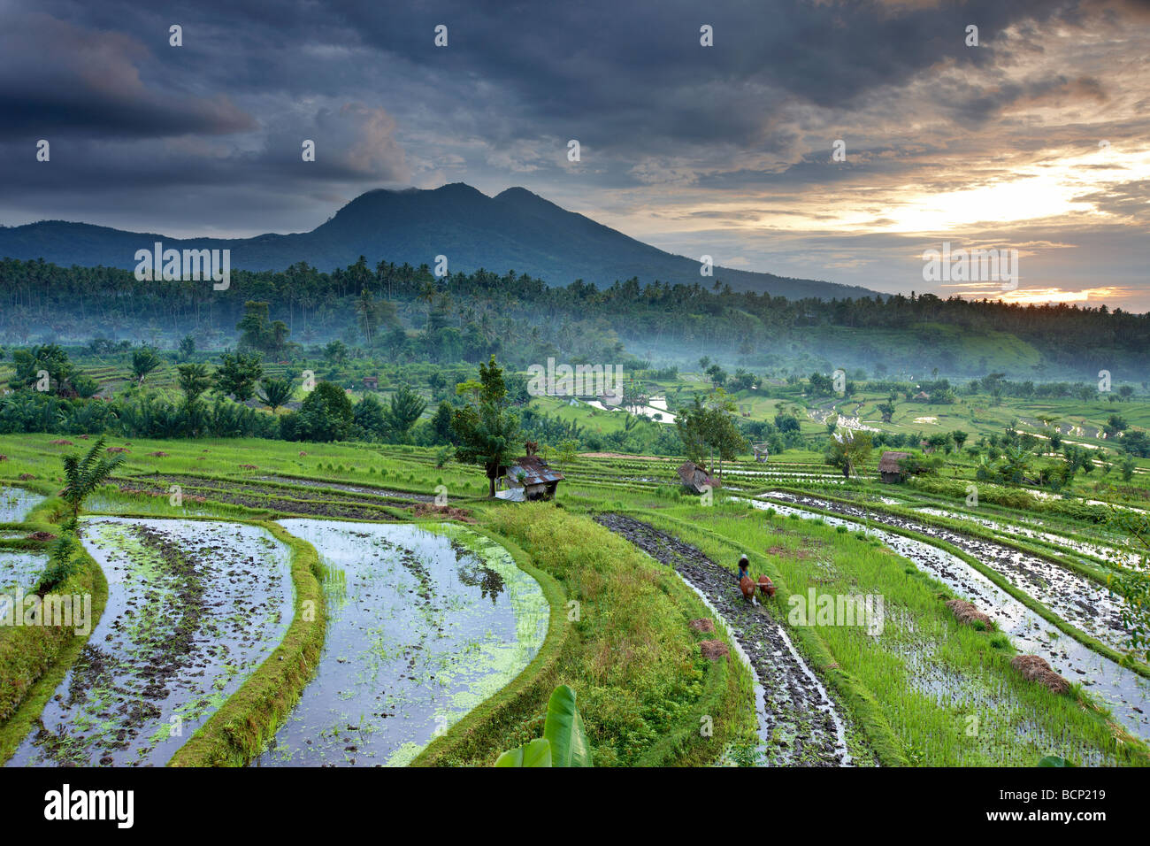 ox driven plough in the terraced rice fields nr Tirtagangga at dawn with the volcanic peak of Gunung Lempuyang, Stock Foto