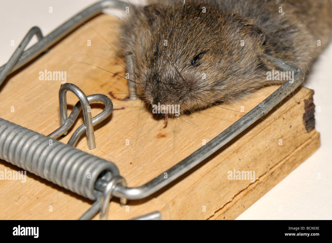 House Mouse Caught In Trap Stock Photo Royalty Free Image