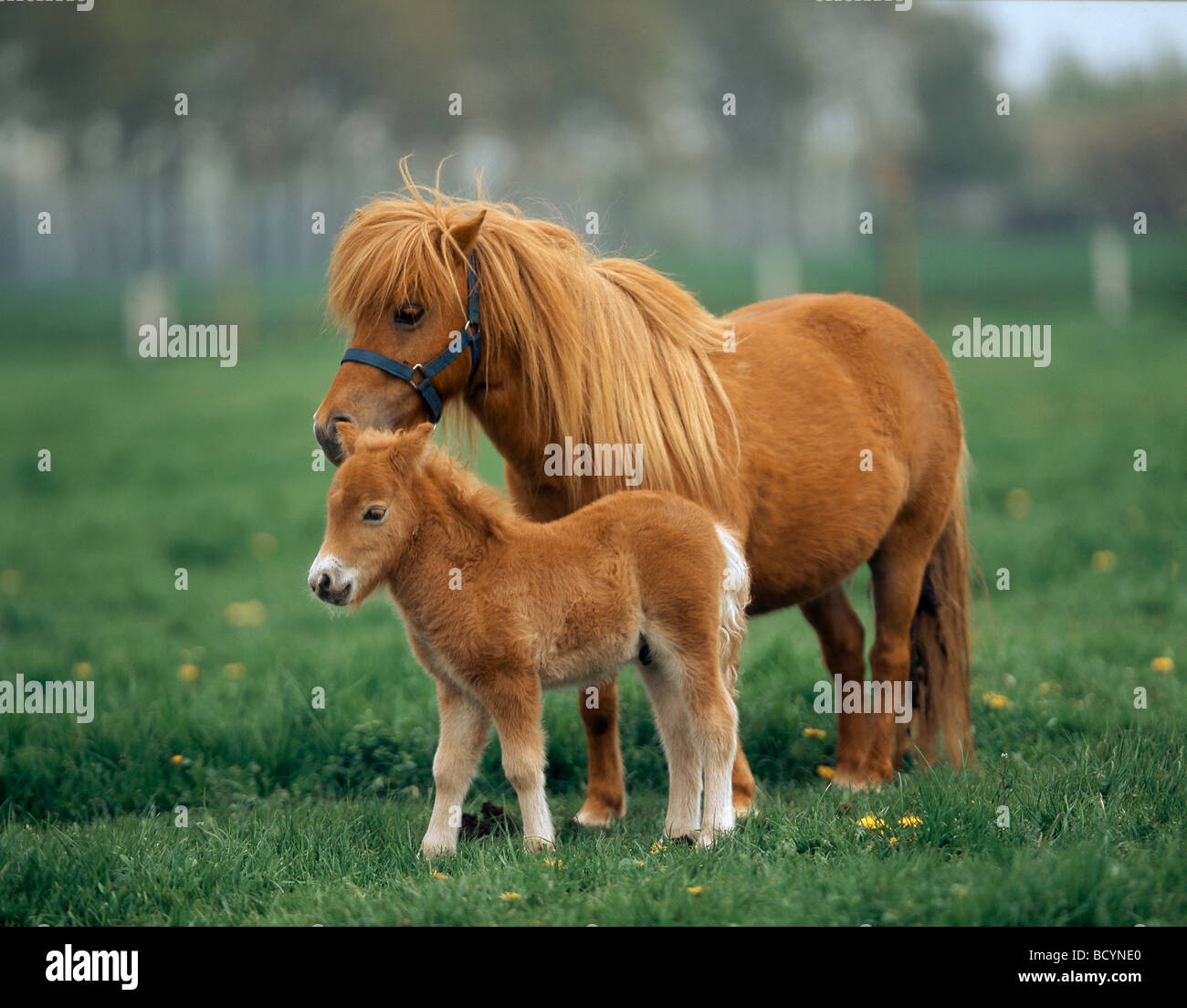 miniature shetland pony chestnut mare with foal on a meadow stock photo royalty free image. Black Bedroom Furniture Sets. Home Design Ideas